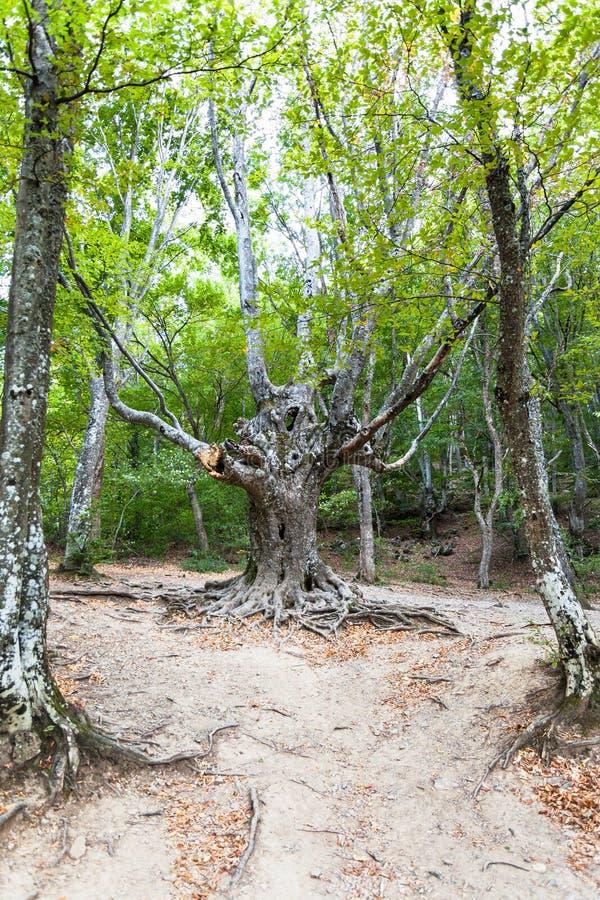 Árbol extraño en bosque en la garganta de Haphal en Crimea fotos de archivo libres de regalías