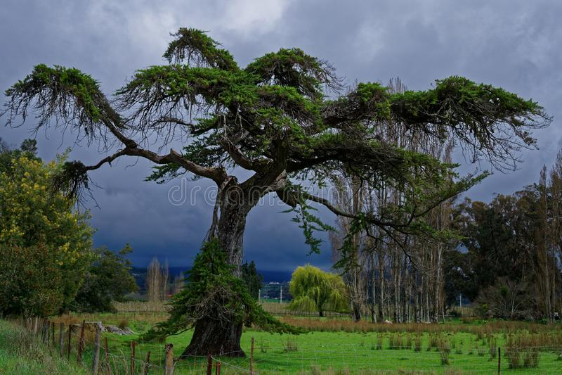 Árbol fantasmagórico con el cielo tempestuoso detrás imagen de archivo