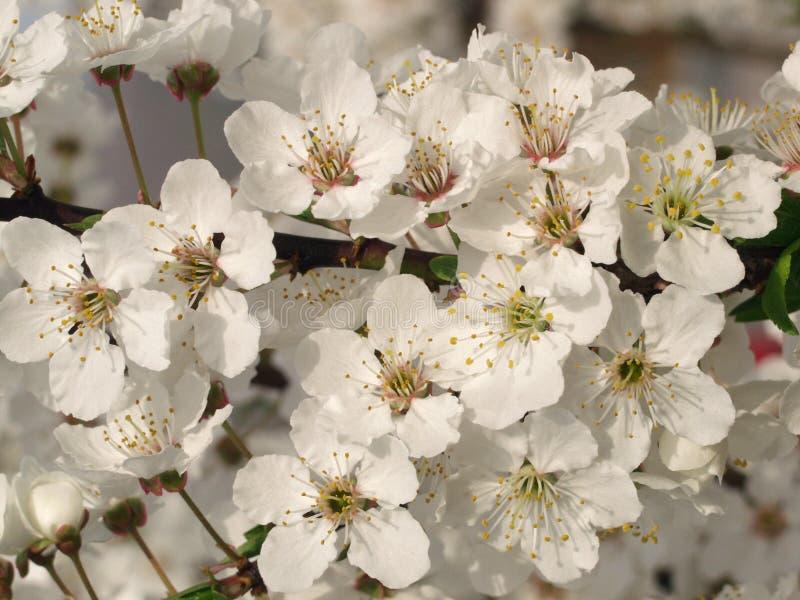 Árbol floreciente foto de archivo libre de regalías