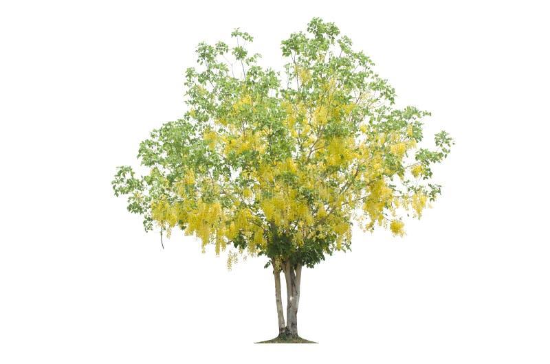 Árbol floreciente amarillo aislado de la trayectoria de ahorro del fondo blanco imágenes de archivo libres de regalías