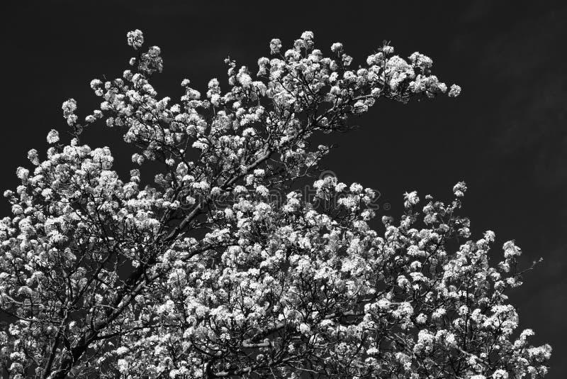 Árbol floreciente blanco contra el cielo oscuro, blanco y negro fotos de archivo libres de regalías
