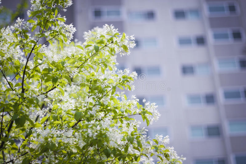 Árbol floreciente con la construcción de viviendas foto de archivo libre de regalías