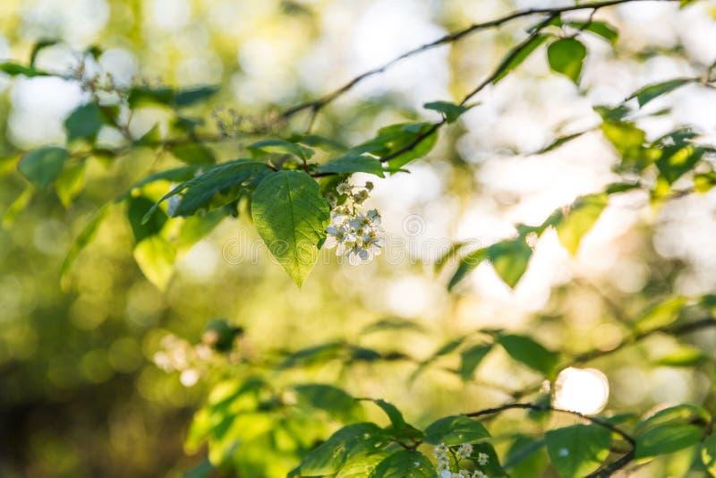 Árbol floreciente con las flores blancas en luz de la mañana de la primavera fotos de archivo