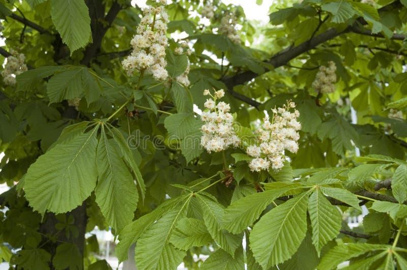 Árbol floreciente de la castaña de Indias f fotografía de archivo