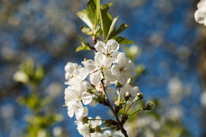 Árbol floreciente de la cereza con una inflorescencia blanca fotos de archivo libres de regalías