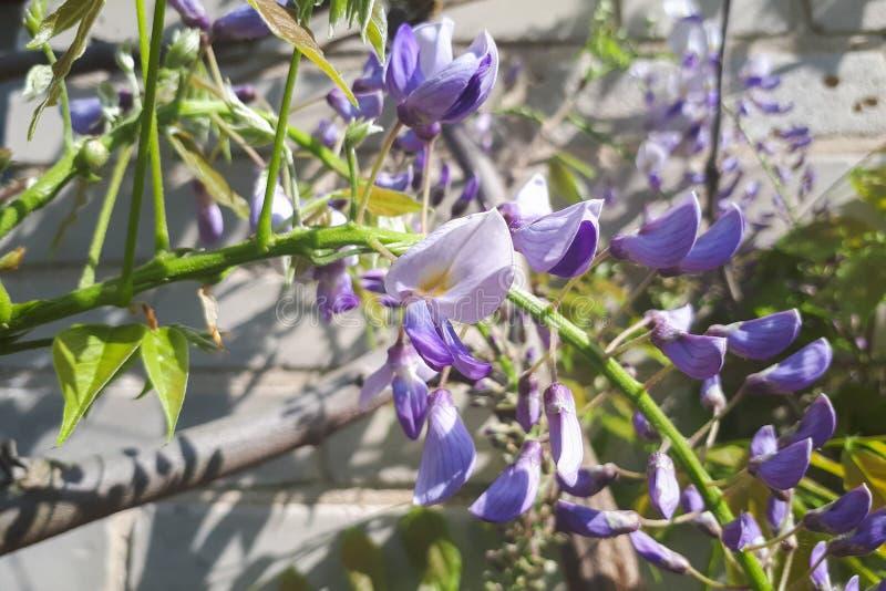 Árbol floreciente de la glicinia con la cascada de flores delicadas púrpuras foto de archivo