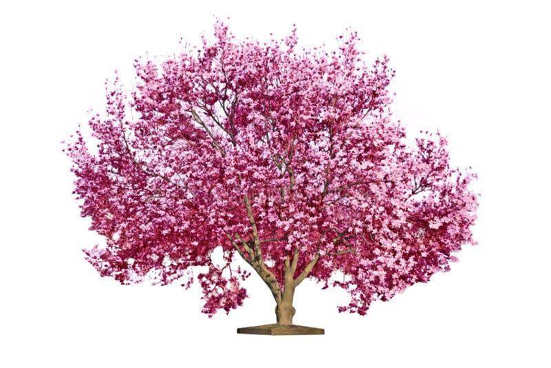 Árbol floreciente de la magnolia fotografía de archivo