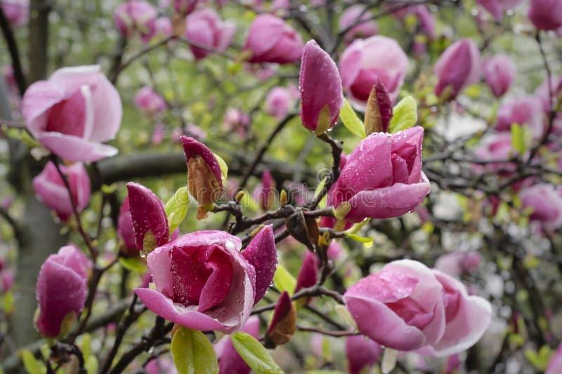 Árbol floreciente de la magnolia fotos de archivo