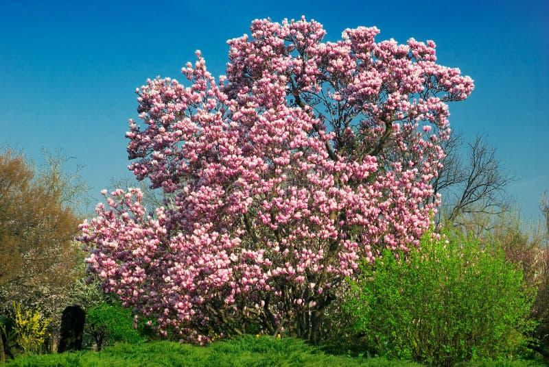 Árbol floreciente de la magnolia en abril foto de archivo