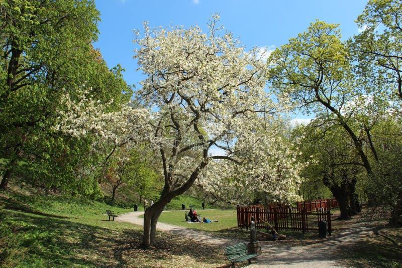Árbol floreciente de la magnolia en Estocolmo central fotos de archivo