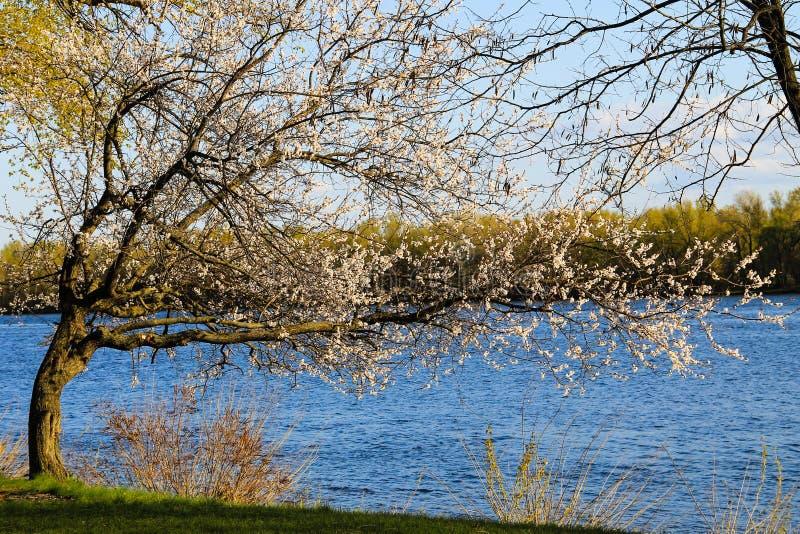 Árbol floreciente del albaricoque en riverbank imágenes de archivo libres de regalías