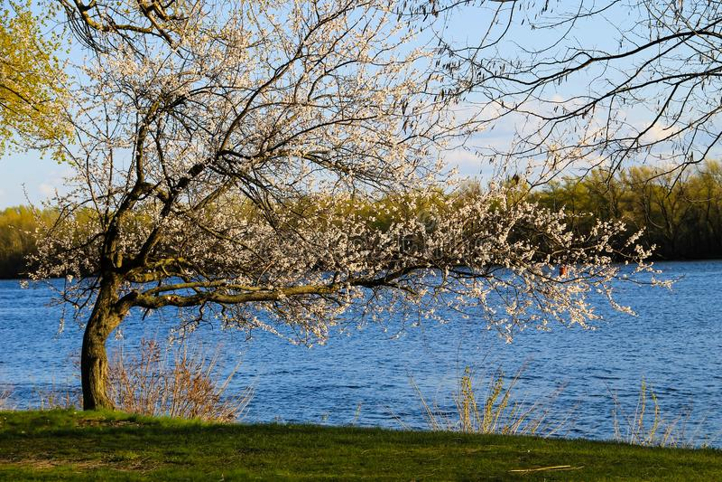 Árbol floreciente del albaricoque en riverbank imagenes de archivo