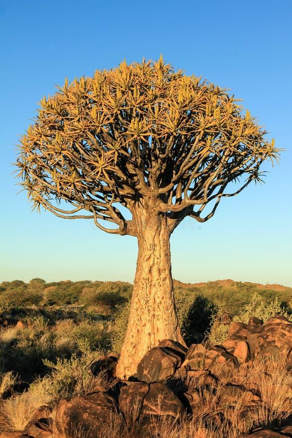 Árbol floreciente del estremecimiento en luz anaranjada de la mañana imagen de archivo