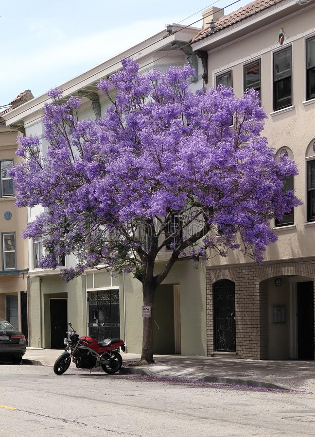 Árbol floreciente del Jacaranda en una calle de San Francisco imagen de archivo