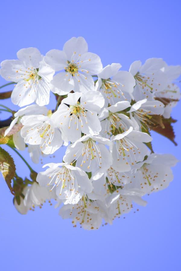 Árbol floreciente en el jardín en el fondo del cielo azul foto de archivo