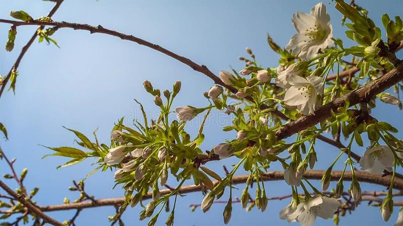 Árbol floreciente en el jardín en el fondo del cielo azul Primavera, cierre para arriba fotografía de archivo