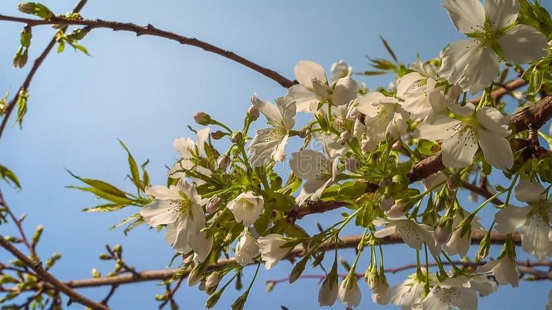 Árbol floreciente en el jardín en el fondo del cielo azul Primavera, cierre para arriba foto de archivo