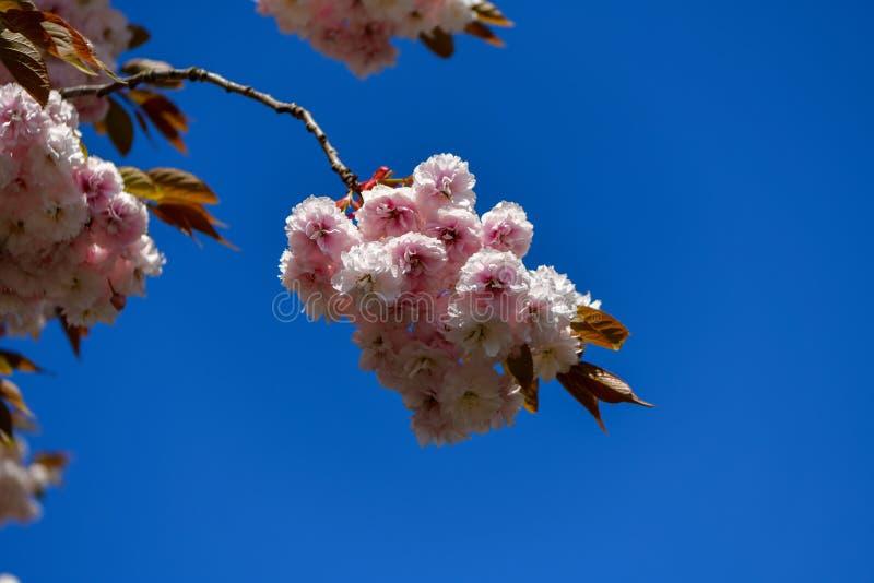 Árbol floreciente en el rosa, lleno hermoso de flores en un fondo azul fotos de archivo libres de regalías