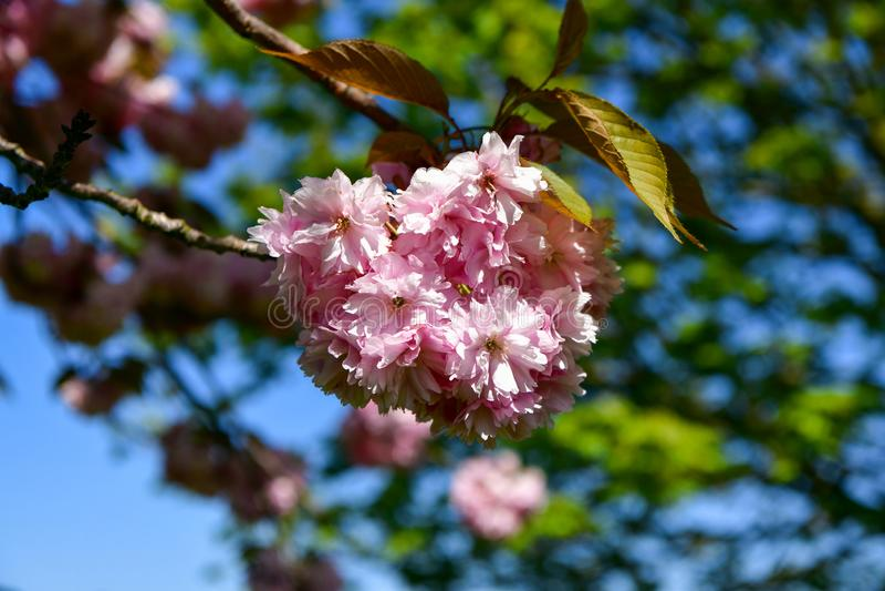 Árbol floreciente en el rosa, lleno hermoso de flores en un fondo azul imagen de archivo libre de regalías