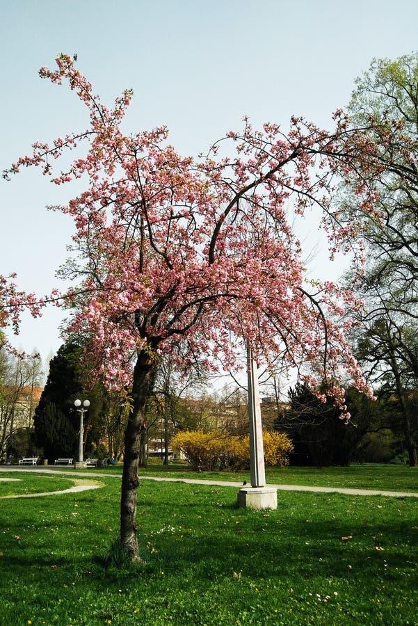 Árbol floreciente en el Sun fotos de archivo libres de regalías