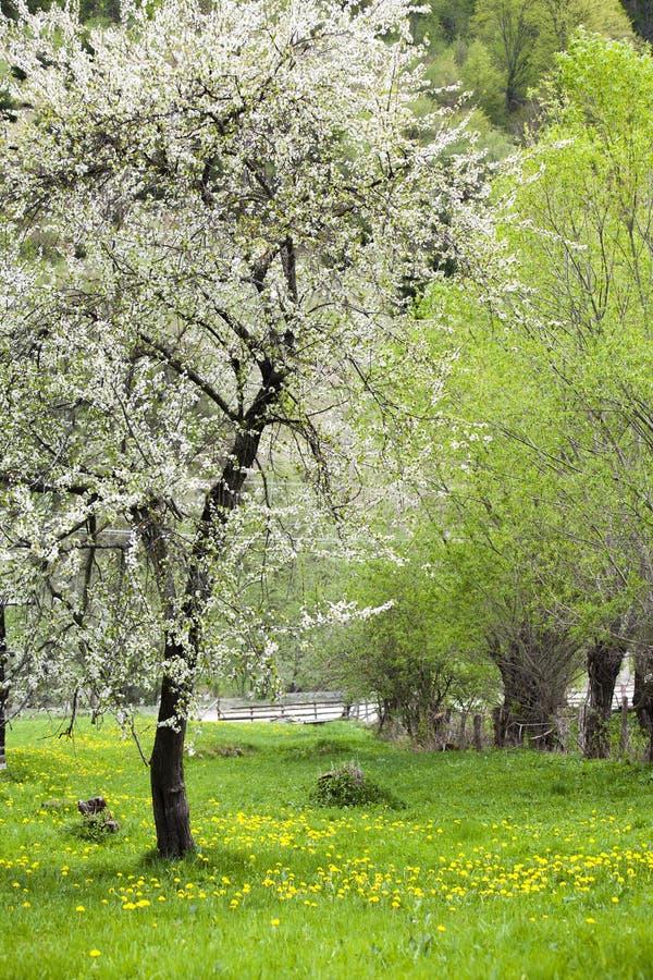 Árbol floreciente en la primavera imagen de archivo