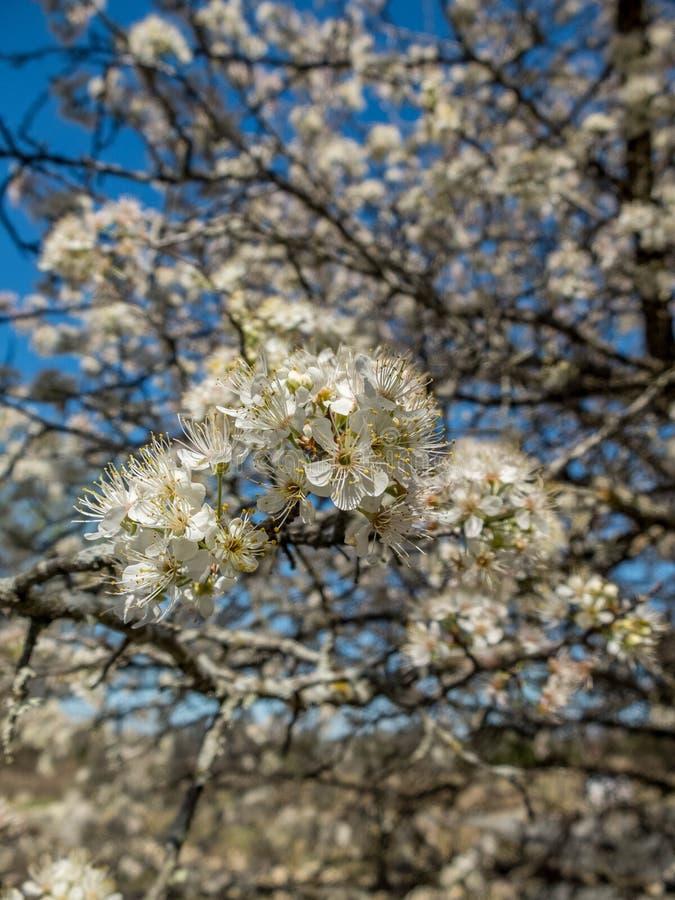 Árbol floreciente en primavera imagenes de archivo
