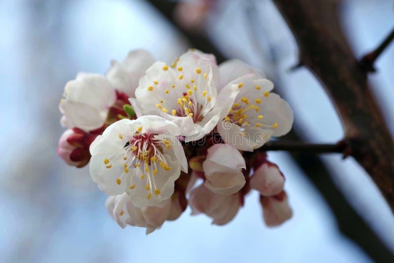 Árbol floreciente hermoso de la primavera en Ucrania fotos de archivo