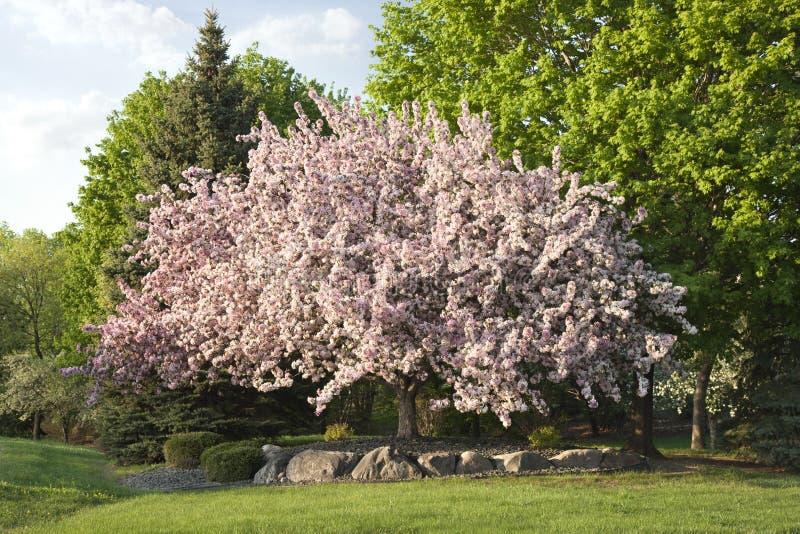 Árbol floreciente hermoso del crabapple en Minnesota foto de archivo