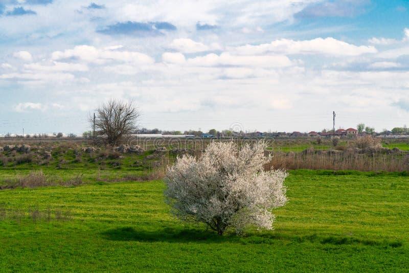 Árbol floreciente solo en un campo de granja en primavera foto de archivo