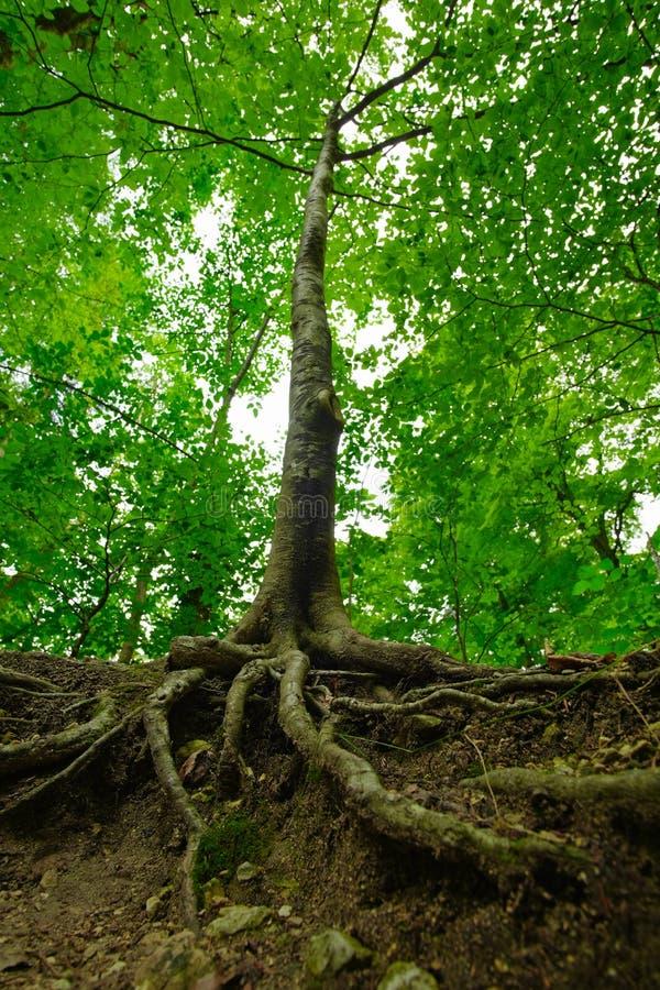 Árbol forestal con las raíces foto de archivo libre de regalías