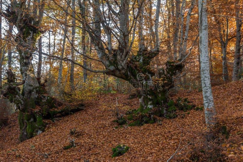 Árbol forestal del cuento de hadas del otoño fotos de archivo libres de regalías