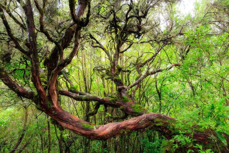 Árbol forestal del laurel Madeira fotos de archivo