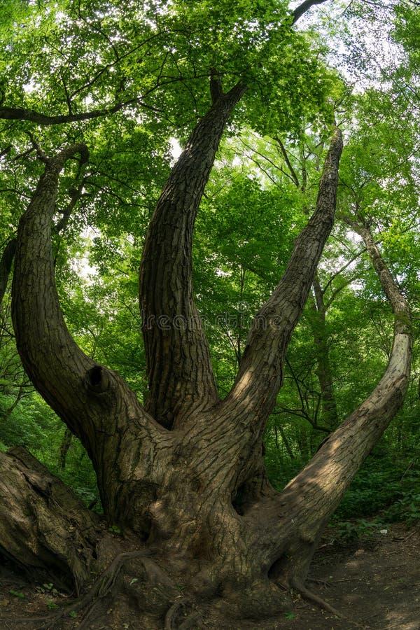 Árbol formado extraño en el bosque foto de archivo libre de regalías