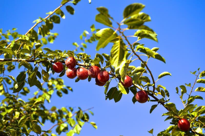 Árbol frutal fotografía de archivo libre de regalías