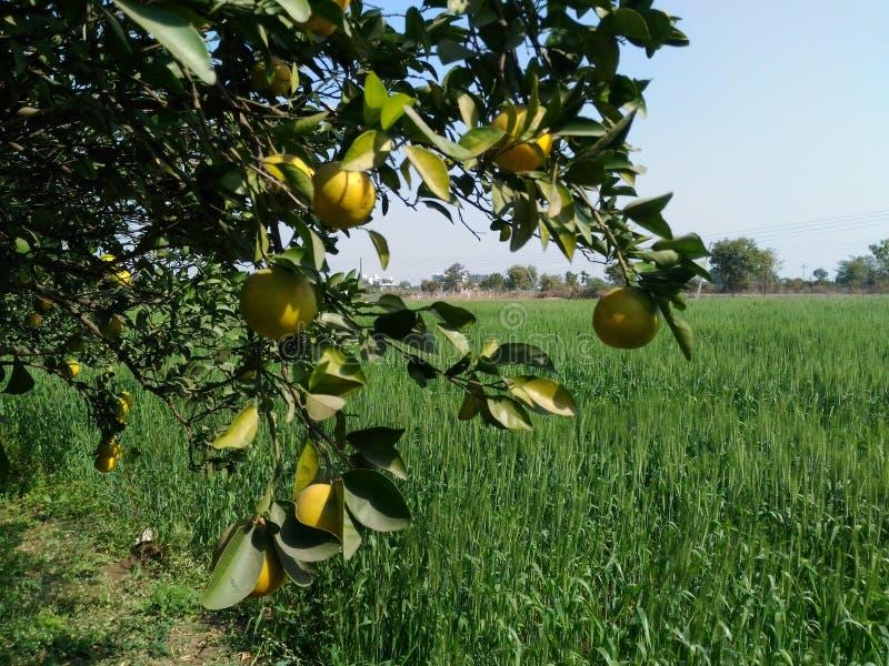 Árbol frutal foto de archivo