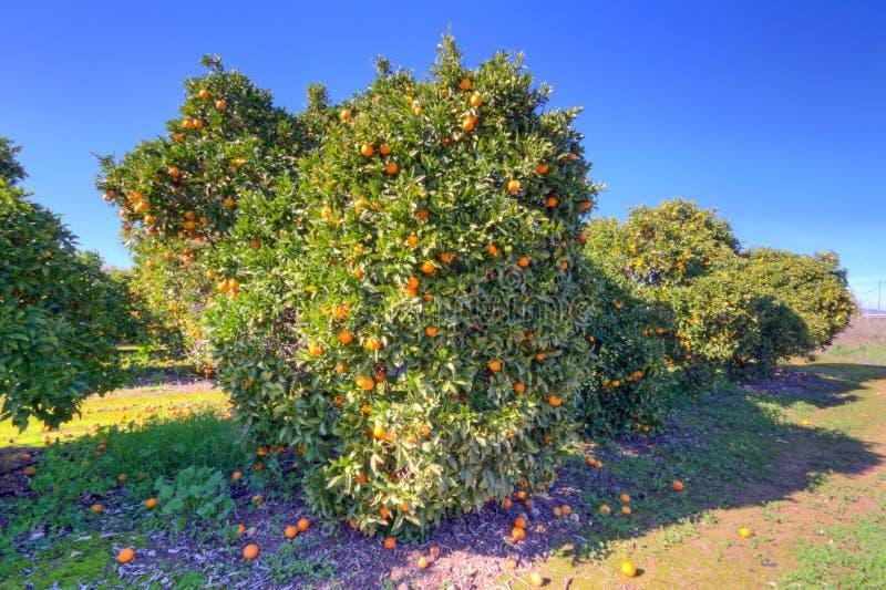 Árbol frutal anaranjado con las naranjas maduras fotografía de archivo