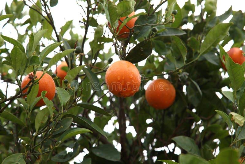 Árbol frutal anaranjado con las naranjas maduras imagen de archivo