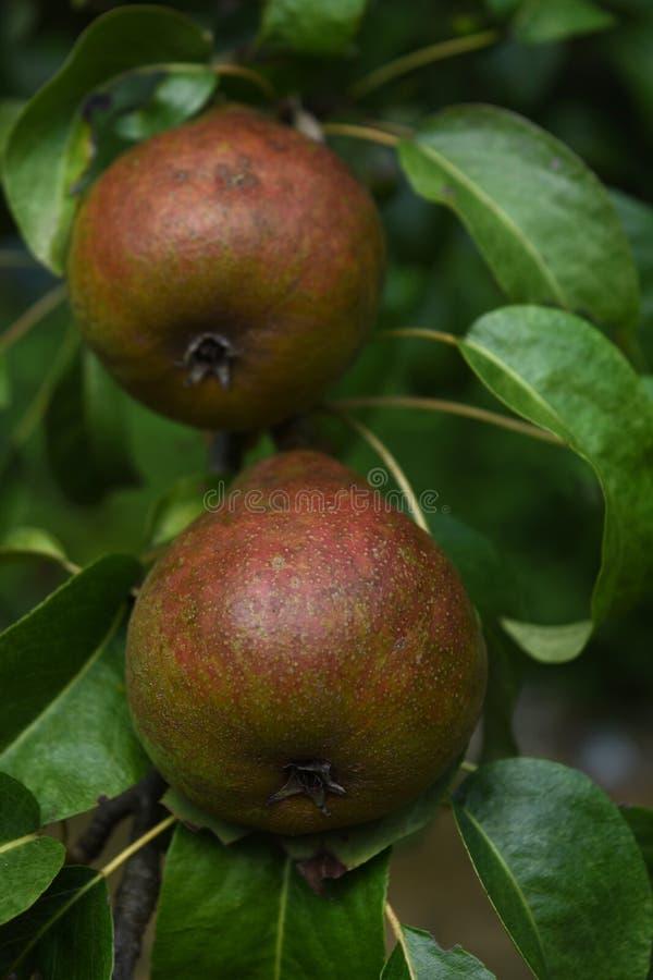 Árbol frutal con las peras enormes que crecen en él imágenes de archivo libres de regalías