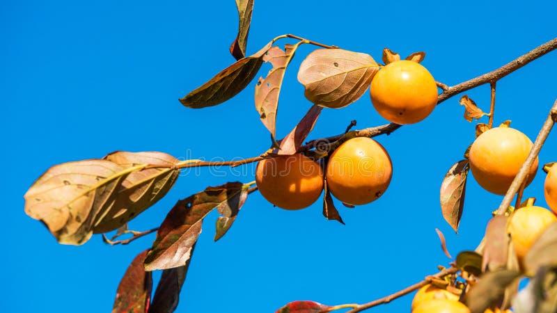 Árbol frutal del caqui del Diospyros del caqui japonés contra el cielo azul claro Primer imagen de archivo