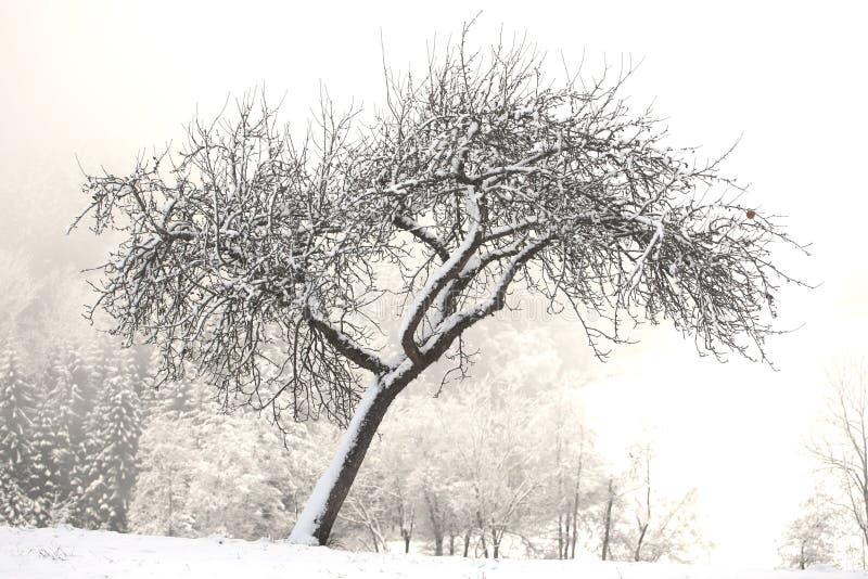 Árbol frutal en el invierno imagenes de archivo