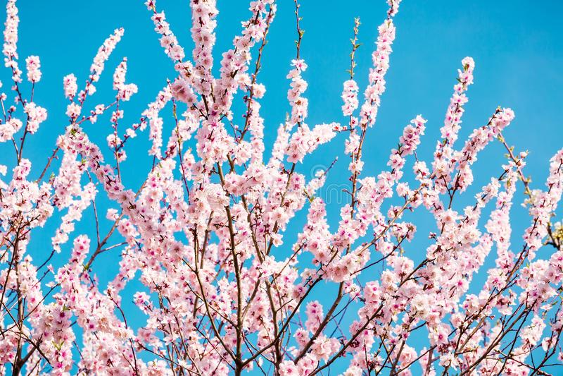 Árbol frutal floreciente con las flores rosadas en jardín de la primavera El tiempo de primavera… subió las hojas, fondo natural imágenes de archivo libres de regalías