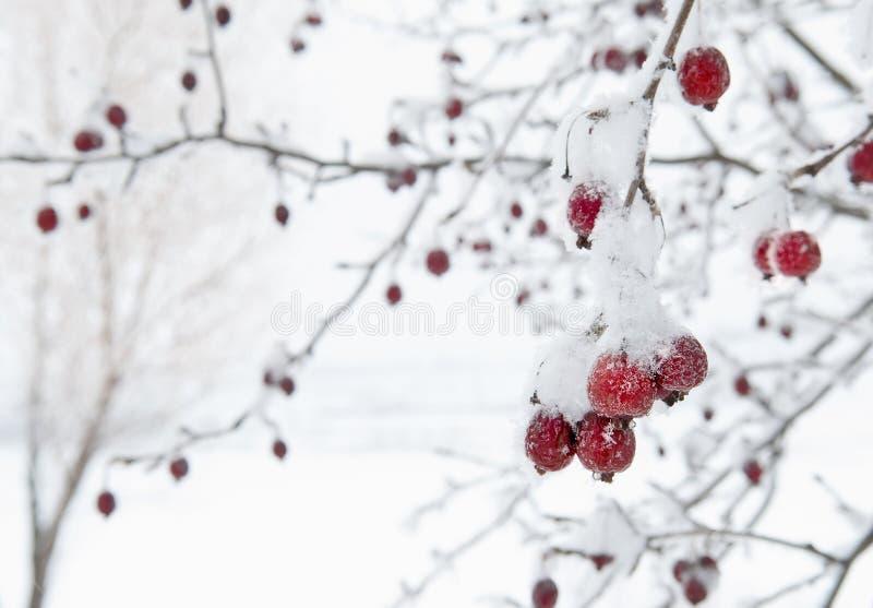 Árbol frutal rojo contra el fondo blanco Nevado imágenes de archivo libres de regalías