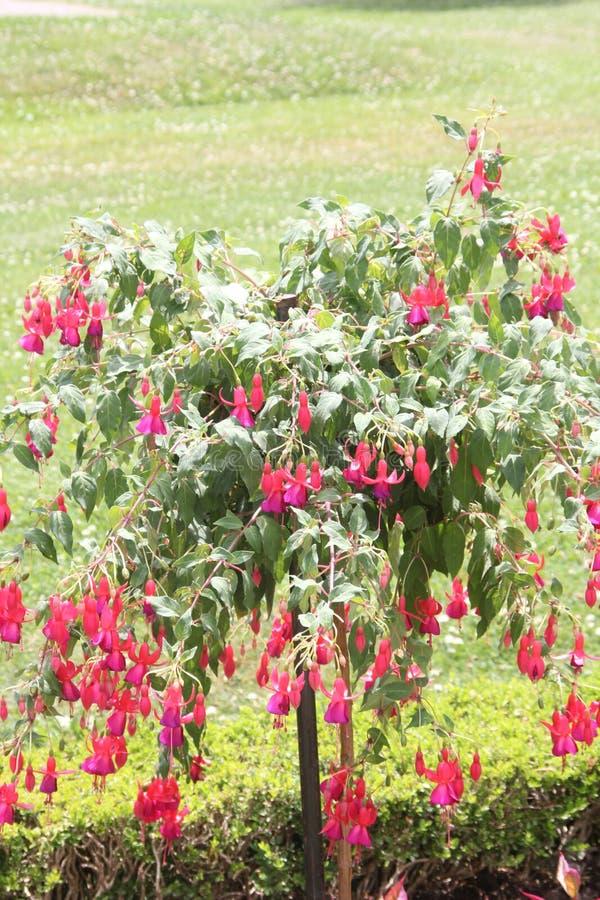 Árbol fucsia con las flores rojas foto de archivo libre de regalías