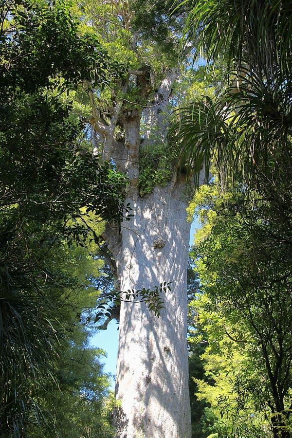 Árbol gigante antiguo Tane Mahuta del Kauri 2000 años imágenes de archivo libres de regalías
