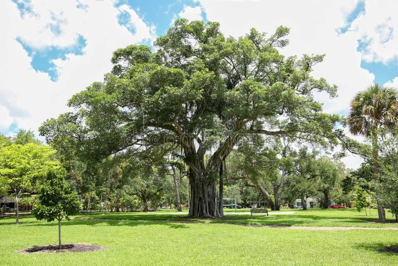 ?rbol gigante de los ficus en un parque local en la Florida imagen de archivo libre de regalías