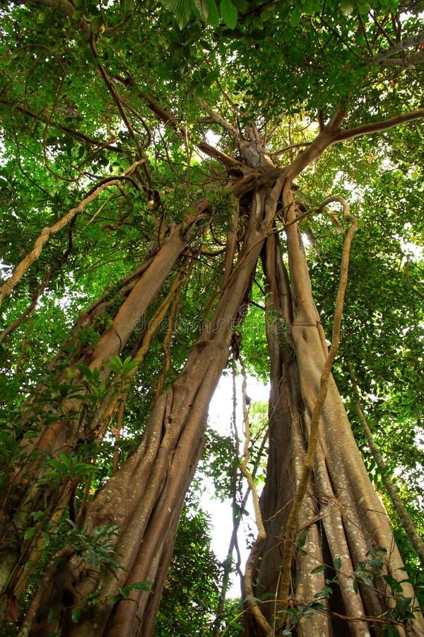 Árbol gigante en la selva tropical. fotos de archivo libres de regalías