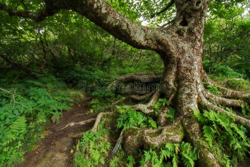 Árbol Gnarly en los jardines escarpados imagenes de archivo