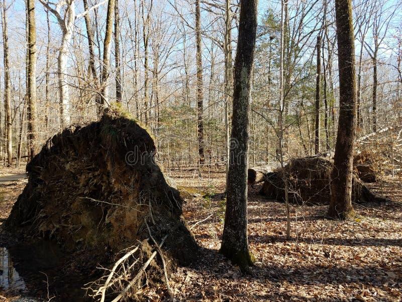 Árbol golpeado por fuertes vientos en el bosque fotografía de archivo