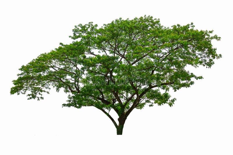 Árbol grande aislado en el fondo blanco foto de archivo libre de regalías