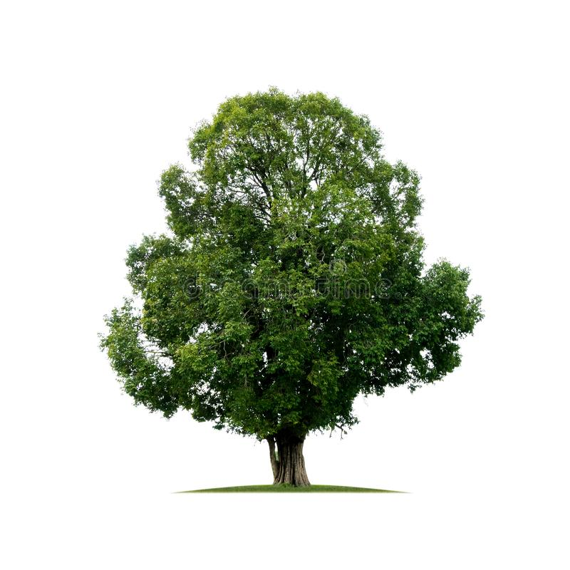 Árbol grande aislado en el fondo blanco imagen de archivo libre de regalías